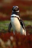 在草的鸟 在红色晚上草的企鹅, Magellanic企鹅,蠢企鹅magellanicus 在n的黑白企鹅 免版税库存照片