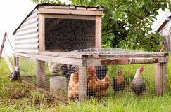 在草的鸡拖拉机 免版税库存照片