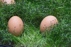 在草的鸡蛋 r 库存照片