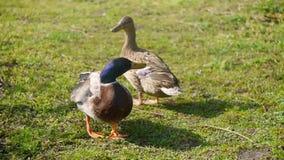 在草的鸭子 影视素材