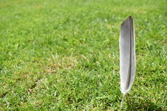 在草的鸽子羽毛 库存照片