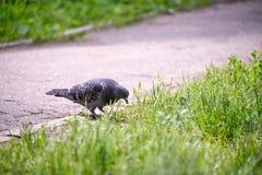 在草的鸽子 图库摄影