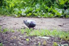 在草的鸽子 免版税库存照片