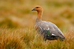 在草的鹅, Chloephaga hybrida,海带鹅,是鸭子,鹅的成员 可以被找到在南部的南部 免版税库存图片