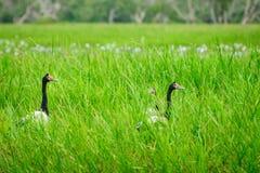在草的鹊鹅在Corroboree Billabong在北方领土,澳大利亚 图库摄影