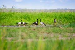 在草的鹊鹅在Corroboree Billabong在北方领土,澳大利亚 库存图片