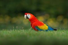 在草的鹦鹉 野生生物在哥斯达黎加 在绿色热带森林里模仿猩红色金刚鹦鹉, Ara澳门,巴拿马 从tr的野生生物场面 库存照片