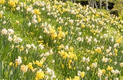 在草的黄水仙在山坡庭院 库存图片