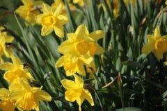 在草的黄水仙在艾瑟尔河畔卡佩勒早晨 免版税库存照片