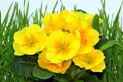 在草的黄色报春花 免版税库存图片