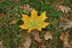 在草的黄色枫叶和烘干叶子 库存照片