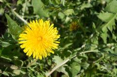 在草的黄色蒲公英 图库摄影