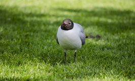在草的黑朝向的鸥 库存图片