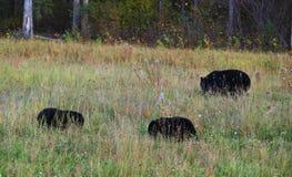 在草的黑熊 免版税库存图片
