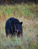 在草的黑熊 库存图片