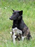 在草的黑白狗 免版税库存照片