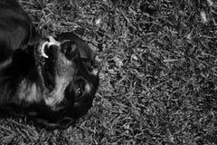 在草的黑daschund 免版税图库摄影
