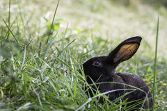 在草的黑兔子 库存照片