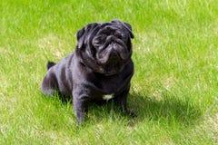 在草的黑哈巴狗 库存照片
