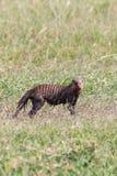 在草的黏土状被结合的猫鼬 库存图片