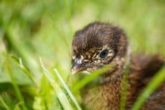 在草的婴孩野鸡 免版税库存图片