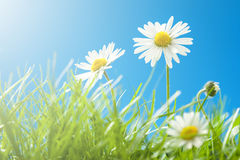 在草的晴朗的雏菊与蓝天-特写镜头 免版税库存照片