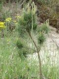在草的年轻杉木 免版税库存图片