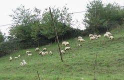 在草的绵羊群 库存照片