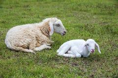 在草的绵羊 免版税库存图片