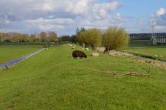 在草的绵羊 图库摄影