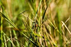 在草的黑臭虫 免版税库存照片