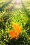 在草的黄色枫叶 免版税库存照片
