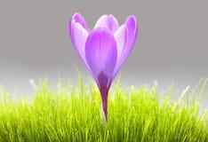在草的紫色番红花花 免版税库存照片
