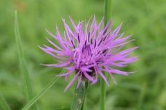 在草的紫色英国野花 免版税库存图片