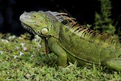 在草的绿色鬣鳞蜥 库存照片