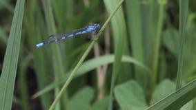 在草的蜻蜓 股票视频