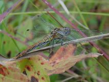 在草的蜻蜓 库存图片