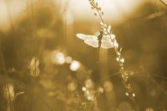 在草的蜻蜓 库存照片