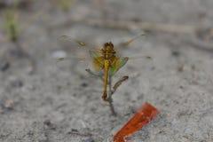 在草的蜻蜓 免版税库存照片