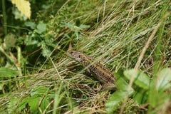 在草的绿蜥蜴在被烧的秸杆中 库存照片