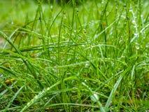 在草的水滴从雨清早 库存图片