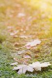 在草的结霜的槭树叶子 库存照片
