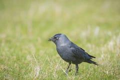 在草的黑鸟 库存照片