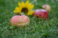 在草的Apple 图库摄影
