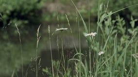 在草的Camomiles在池塘水附近 股票视频