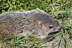 在草的Groundhog从上面 库存照片