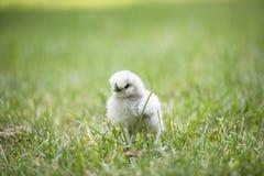 在草的Silkie小鸡 免版税图库摄影