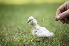 在草的Silkie小鸡 库存图片