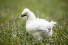 在草的Silkie小鸡 库存照片