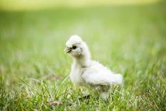 在草的Silkie小鸡 免版税库存照片